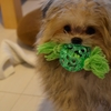 ポメマルmix犬のトリミング頻度は?毛はどのくらい伸びる?