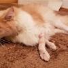 猫のリハビリ生活再開へ!歩けるようになるまでの道のり