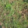 グランドカバーにアジュガを植えています