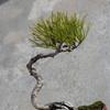 昨年購入赤松盆栽について
