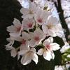 スマホでも接写すればほら...美人な桜♪