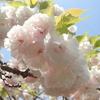 八重桜の花びらの枚数。