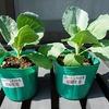 土耕栽培のキャベツ苗を水耕栽培装置に移植。上手く育ってくれるかドキドキです
