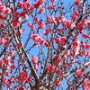 赤塚山公園の梅 (豊川)