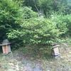 日本蜜蜂が巣箱に入りました