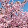 河津桜が綺麗です(#^_^#)