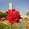 【一日一枚写真】赤薔薇 Part.3【一眼レフ】