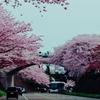 金沢市百間堀桜