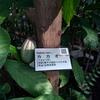 薬用植物園 カカオの木