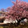 蓬莱桜:ラスト