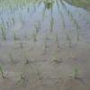 草枯らしを雑草撃退のために田植えの後に散布した
