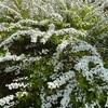 雪柳が満開