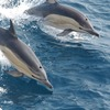 【地震前兆】西日本でイルカが迷い込むケース増加中~長崎・高知・静岡~大きな地震の前兆か?