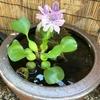 睡蓮鉢でメダカのビオトープにチャレンジ 【Vol.12 : ホテイ草の花は儚い(はかない)...】