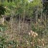 山の中の廃屋に咲くキエビネ