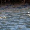 ミコアイサの離水と着水
