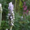 南仏の花 ラベンダーフレンチ Lavender
