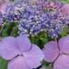 紫陽花の葉には毒がある。