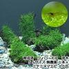 (エビ 水草)育成済 ウィローモス 流木 SSサイズ(約10cm)(無農薬)(1本)+ミナミヌマエビ(10匹)