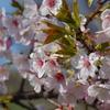 早咲きの桜が満開になりました