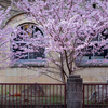 京都・洛中 - 別れ惜しむ春めき桜