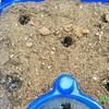 5月8日小学1年生朝顔の観察始めます