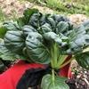 【家庭菜園】タアサイ収穫【3】
