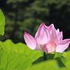 花の命は短くて-よこはま 散歩(三渓園)