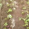 ジャガイモの収穫 第二弾