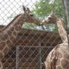 【ハワイ】ホノルル動物園に2頭のキリンが仲間入り!