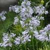 アガバンサスの花