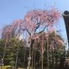シダレザクラ、8分咲きです