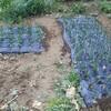 カブを播種。春のダイコンとホウレンソウを補填。冬ホウレンソウと芽キャベツの撤収。収穫と家庭菜園の様子。