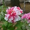 【馬場花木園の花々】大型連休が終了しますね。皆様いかがお過ごしでしたでしょうか?