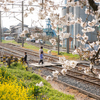 桜、菜の花、踏切、工場、犬の散歩