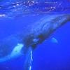 トンガ4日目「母子クジラ」