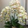 ランの花と明日の症例