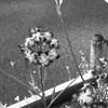 今日の1枚 モノクロで見ると、全く違う花に見えますね