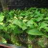 【数量限定特価】アヌビアス・ナナ水草のなかでも代表的な水草です置くだけでレイアウトがきまる