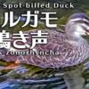 カルガモの鳴き声【野鳥図鑑・鳴き声図鑑】Anas zonorhyncha  Spot-billed ducks