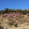 河津桜の花見と大工仕事の買い出し