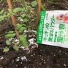 【家庭菜園】重曹がトマトを驚くほど甘くする〜!?