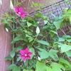 クレマチスの花が咲いてきました。