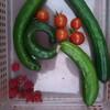 ベランダプランターからの野菜の収穫