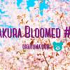 フォトログ:大きな桜並木で桜の撮影@優駿の里、浦河桜まつりに行って来た