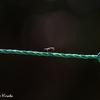 洗濯紐で一休みする蠅