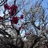 春のお出かけスポット♡梅祭りに行ってきました!in府中郷土の森