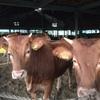 師走4-菊池農場の牛舎再建計画打合せ
