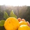 摘みたて柚子をいただいたので考えてみた効能と活用法