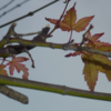 冬の終わりを告げる紅葉。